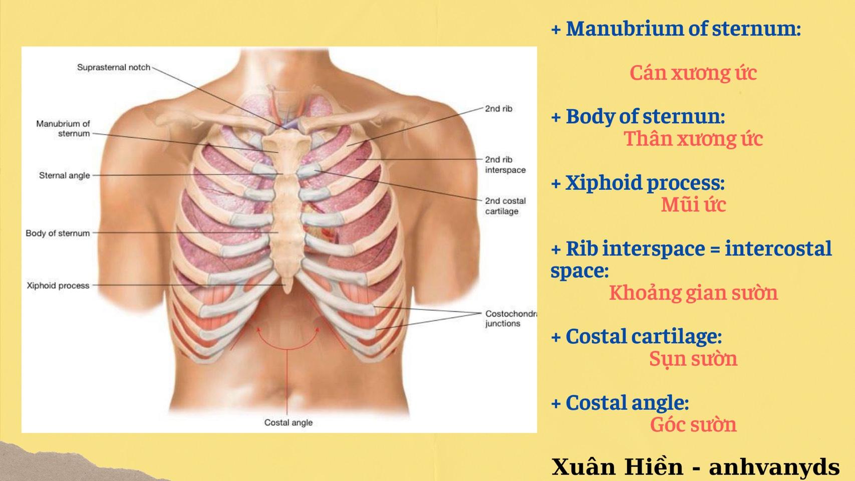 Từ vựng giải phẫu và kỹ thuật lâm sàng ở lồng ngực